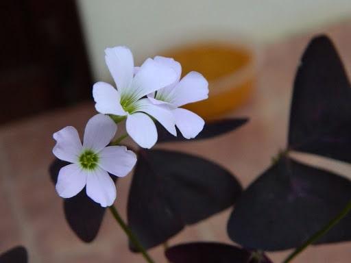 bán cây bướm đêm, đặc điểm, ý nghĩa, phong thuỷ cây kim ngân