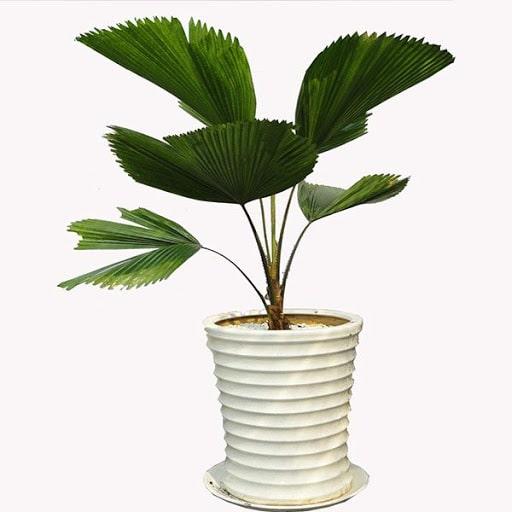 bán cây cọ cảnh, đặc điểm, ý nghĩa, phong thuỷ cây kim ngân