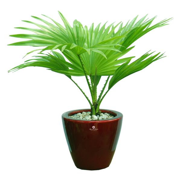 bán cây bách thuỷ tiên, đặc điểm, ý nghĩa, phong thuỷ cây kim ngân