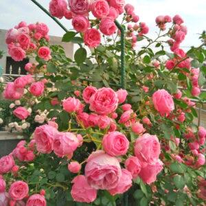 Hoa hồng leo Pháp